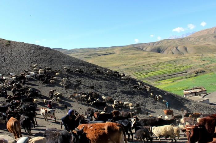 The village livestock arrives
